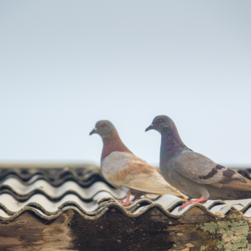 Pigeons hanging out on the roof